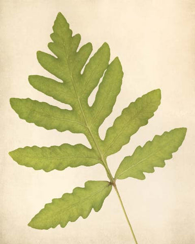 "Fern Art, Botanical Print ""Sensitive Fern"""
