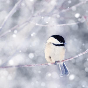 Chickadee in Snow Bird Art Print