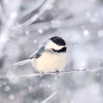 Chickadee Bird Photography Print
