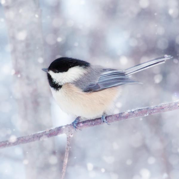Chickadee in Snow Bird Photograph