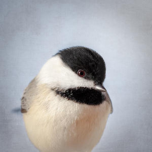 Chickadee Fine Art Bird Print