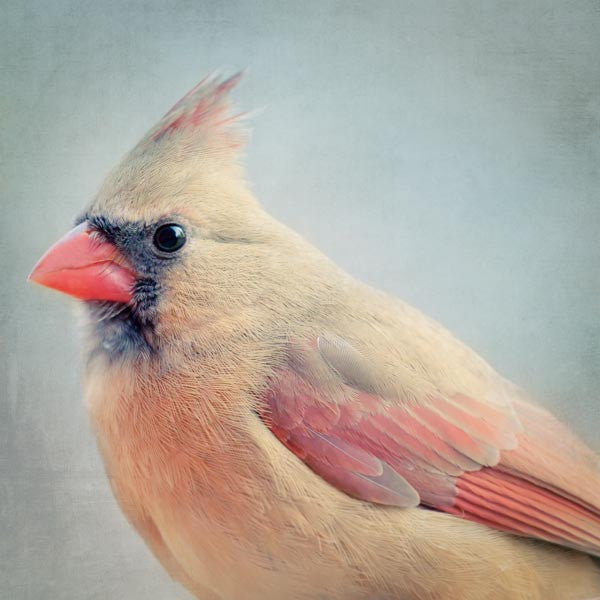 Female Cardinal Fine Art Bird Print