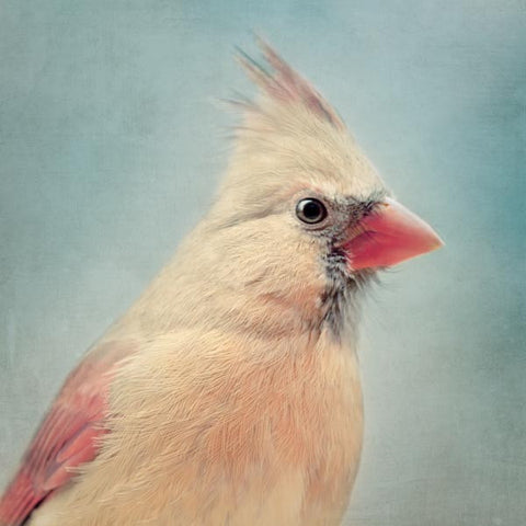 Female Northern Cardinal Fine Art Bird Print