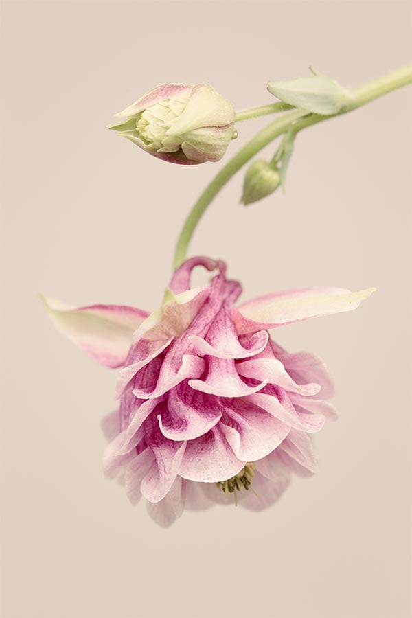 "Botanical Flower Photography Print ""Columbine No. 3"""