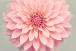 "Fine Art Flower Photography Print ""Dahlia No. 36"""