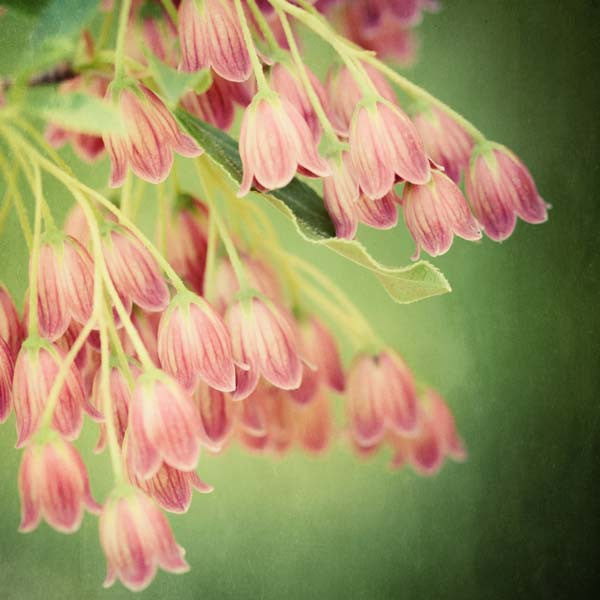 Enkianthus flower photography print