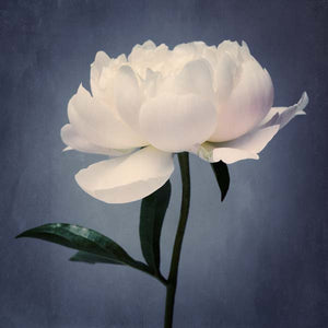 white peony flower photography print