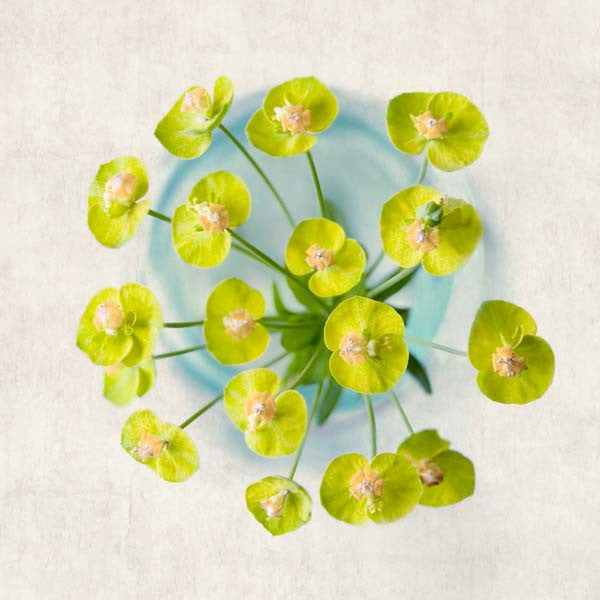Cypress Spurge Flower Photography Print by Allison Trentelman