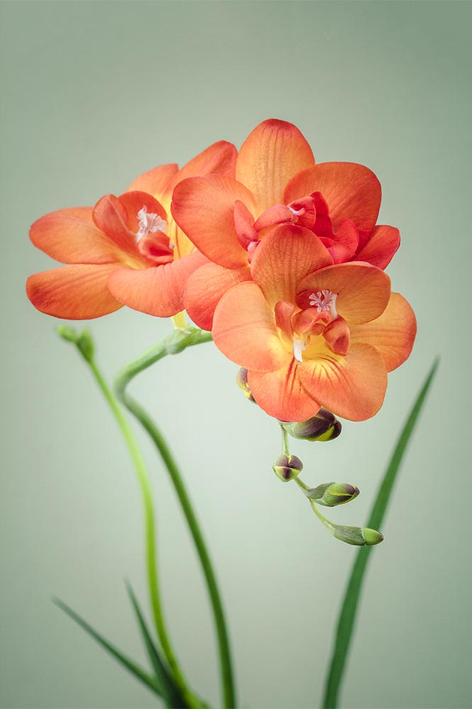 "Freesia Photo, Fine Art Print ""Freesia No. 1"""