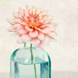Pink Dahlia Flower Photography Print by Allison Trentelman