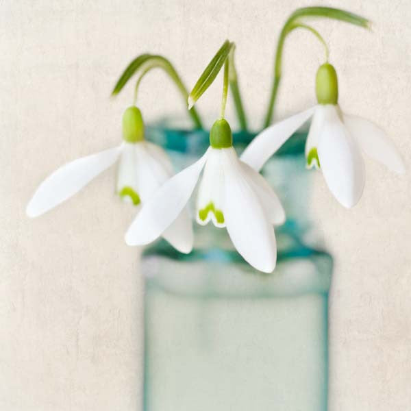 Snowdrops Flower Photography Print by Allison Trentelman