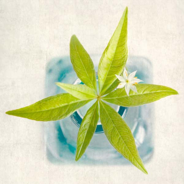 Starflower Flower Photography Print by Allison Trentelman