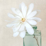 White Magnolia Flower Photography Print by Allison Trentelman