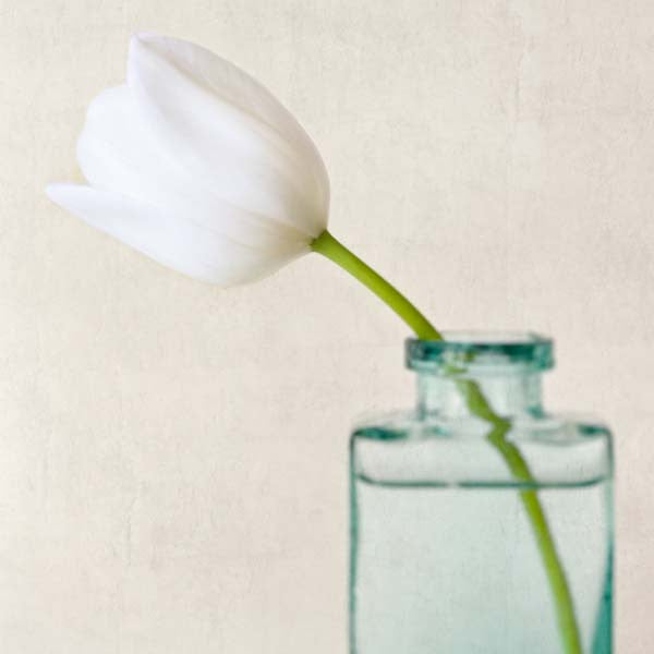 White Tulip Flower Photography Print by Allison Trentelman