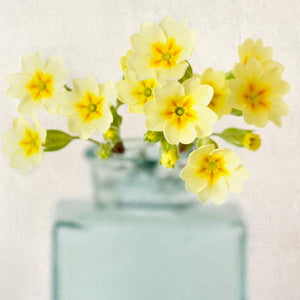 Yellow Primrose Flower Photography Print by Allison Trentelman