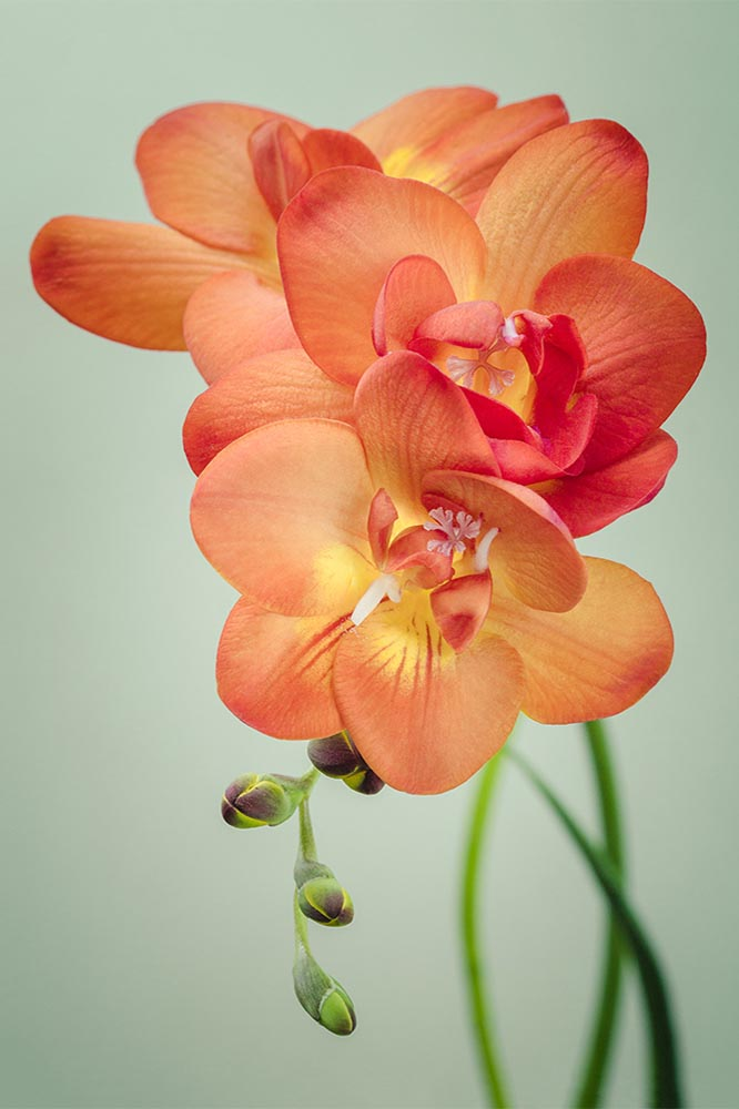 "Freesia Flower Photo, Fine Art Print ""Freesia No. 4"""