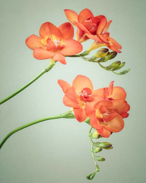 "Set of 3 Prints, Floral Wall Art Set ""Freesia Flowers"""