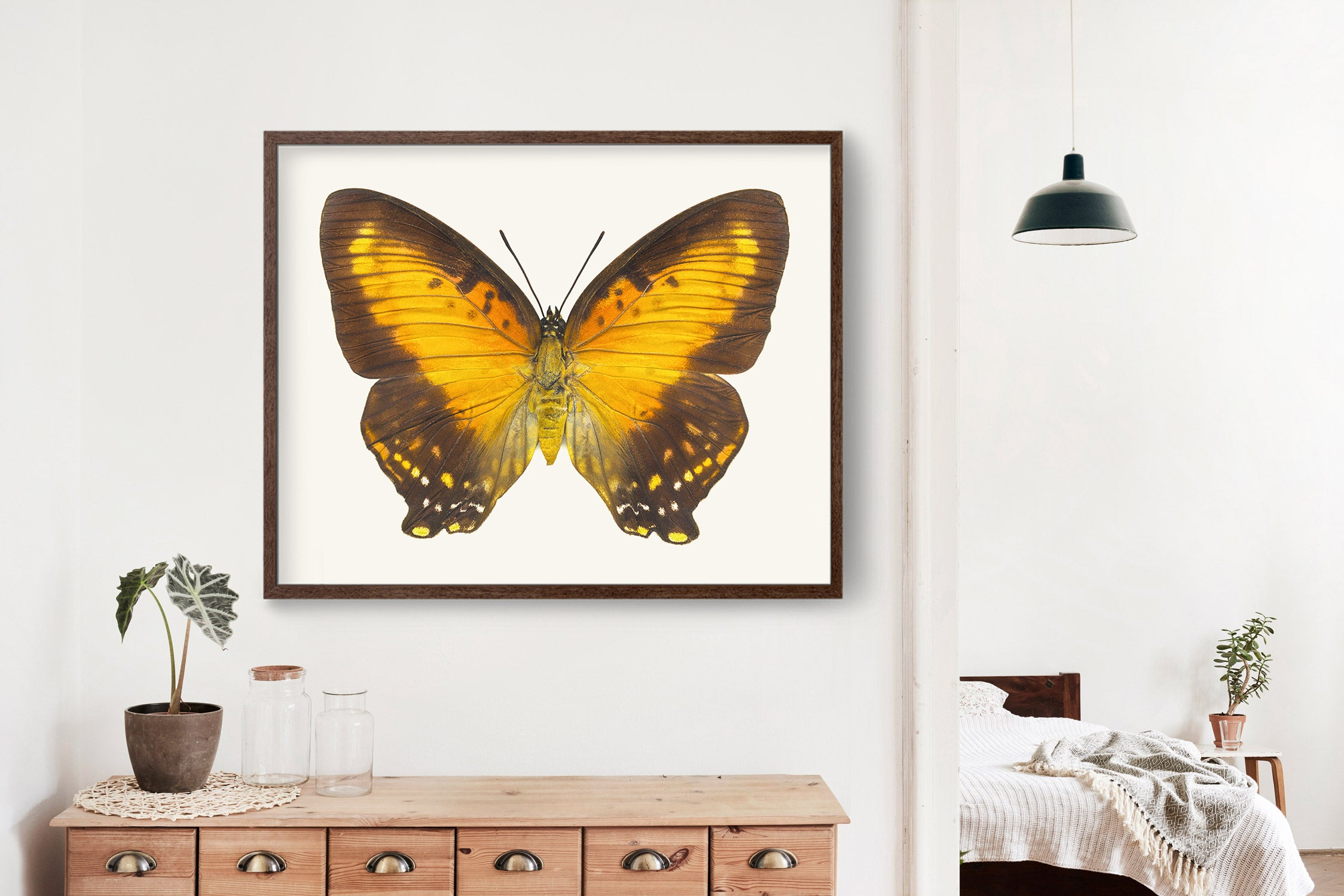 Butterfly Photo No. 14 - Charaxes zingha - Meadow Wanderer Butterfly Print