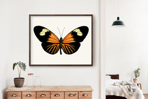 Butterfly Photo No. 13 - Heliconius xanthocles - Longwing Butterfly Print