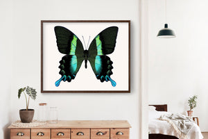Butterfly Photo No. 16 - Papilio blumei - Peacock Butterfly Print