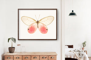 Butterfly Photo No. 1 - Cithaerias Aurorina - Pink Glasswing Butterfly Print