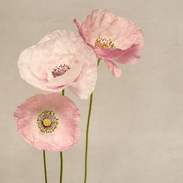 Photography print of three pink shirley poppies