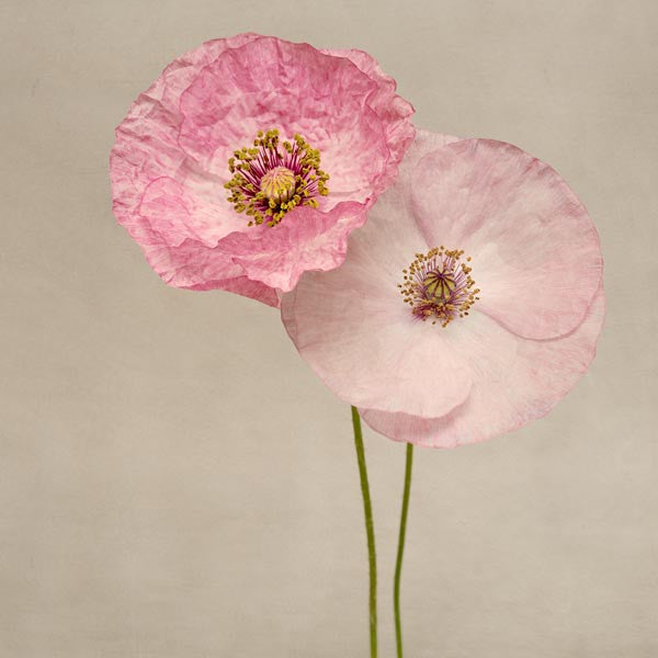 "Set of 4 Prints, Floral Wall Art Set ""Shirley Poppies"""