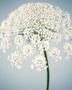 Fine art flower photo of queen anne's lace