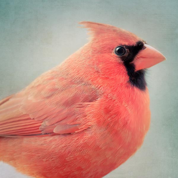 Red Cardinal Fine Art Bird Print