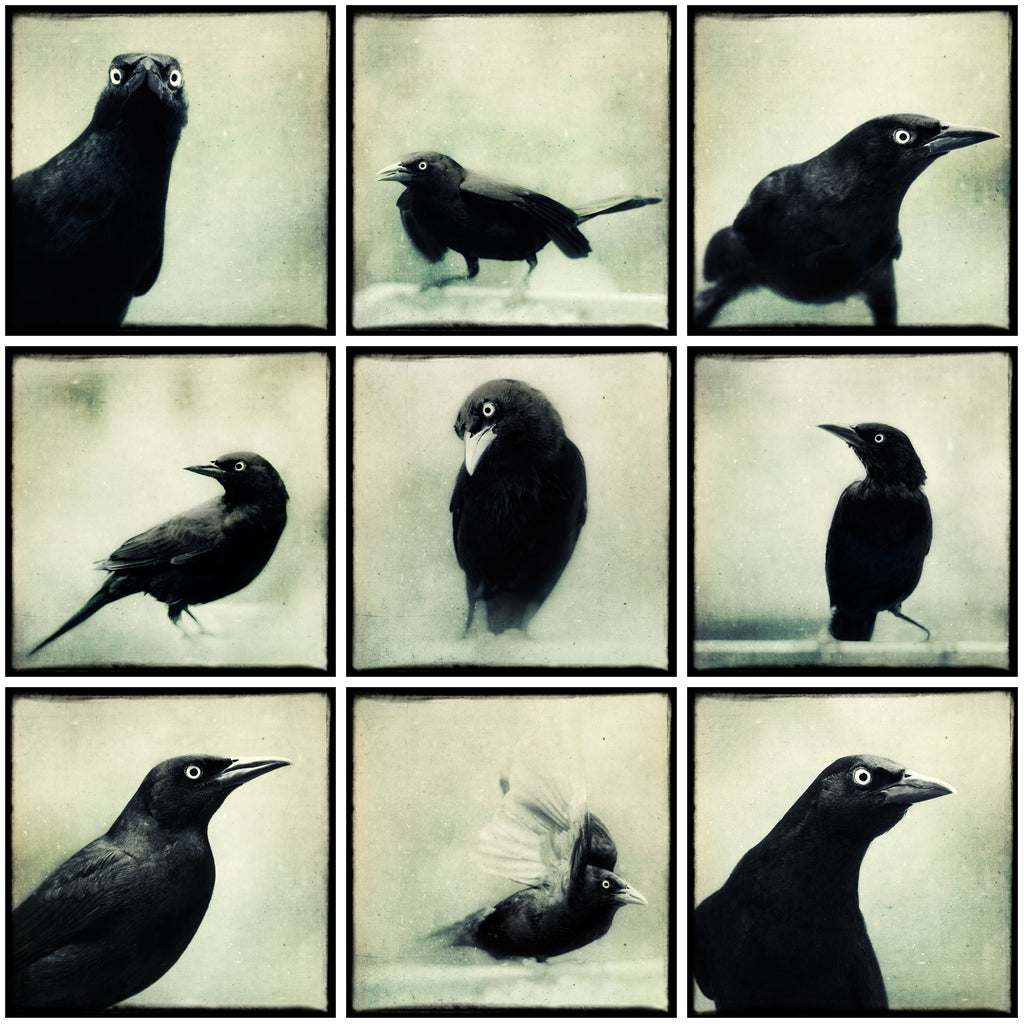 Set of 9 Grackle Prints