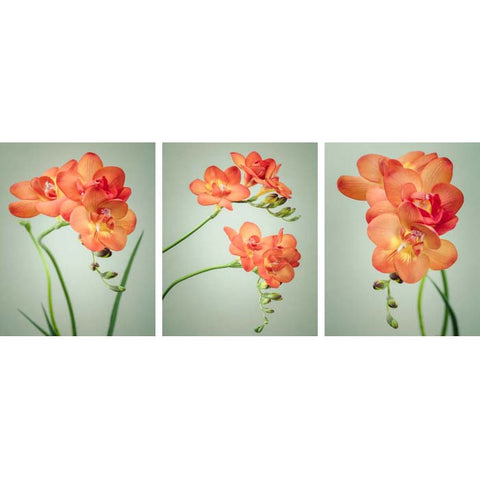 set of 3 freesia flower prints by allison trentelman