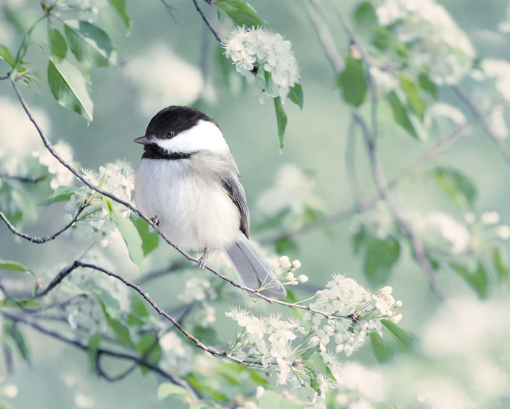 "Fine Art Bird Photography Print ""Chickadee in Spring"""