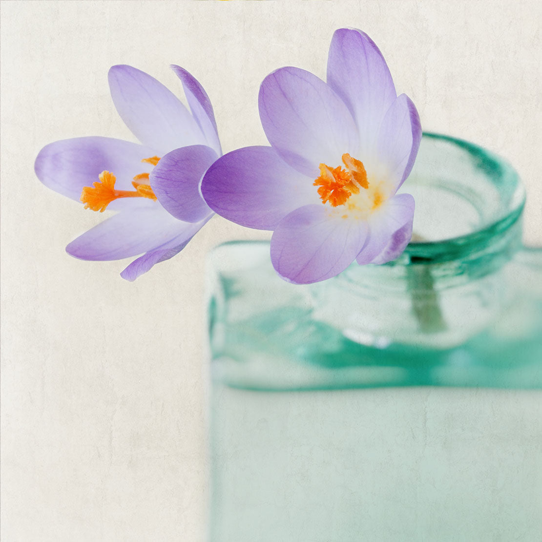 purple crocus still life print
