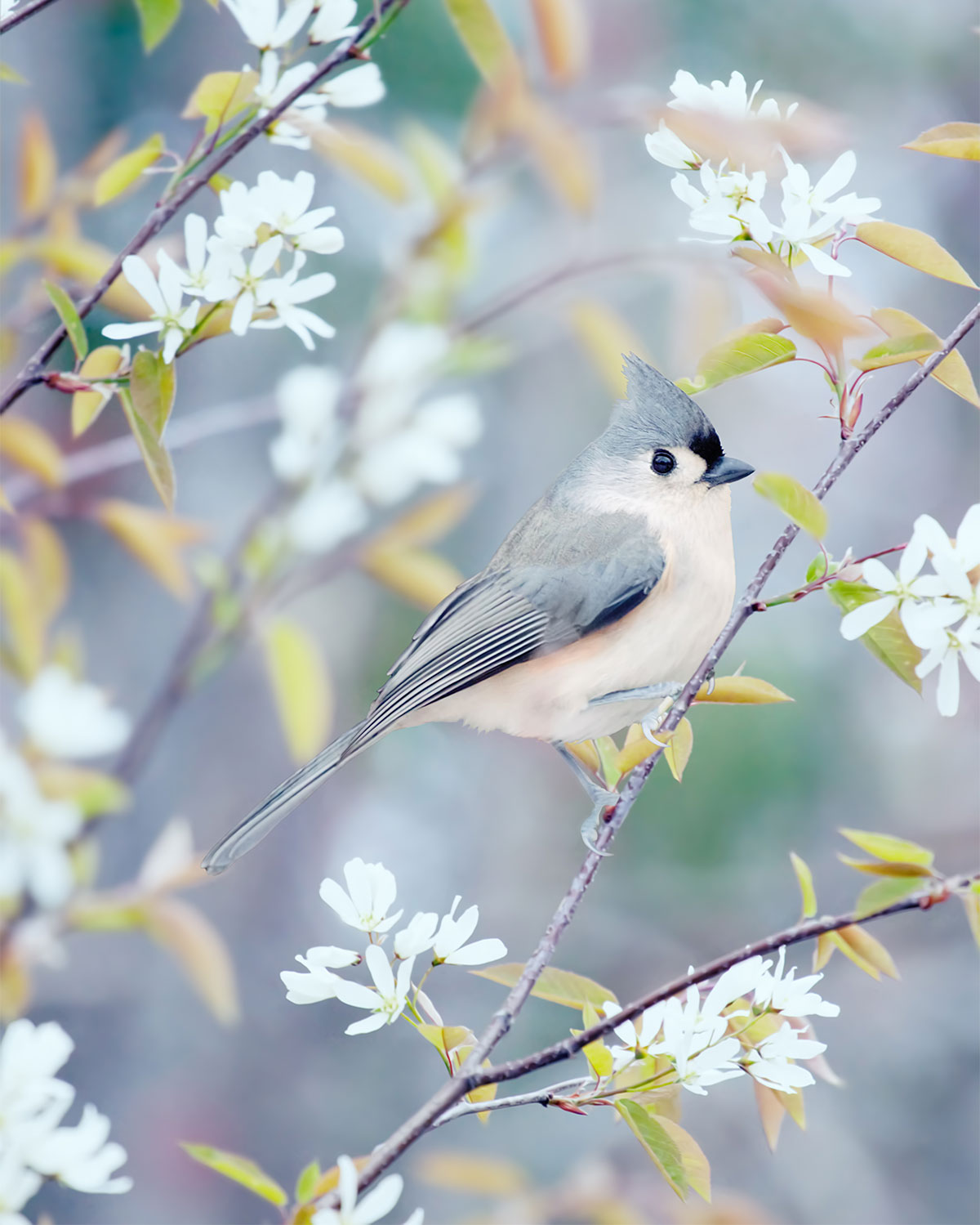 "Fine Art Bird Photography Print ""Tufted Titmouse in Spring"""