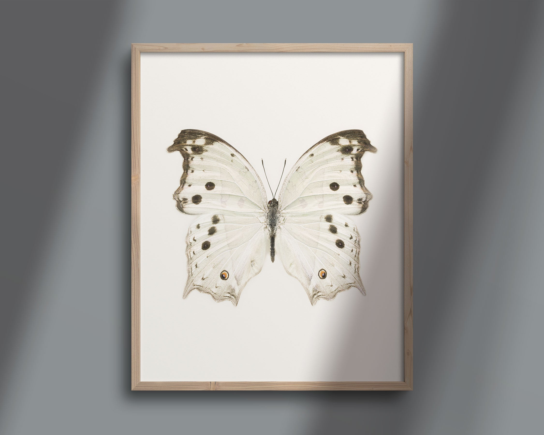 Butterfly Photo No. 3 - Salamis Parhassus - Mother-of-Pearl Butterfly Print