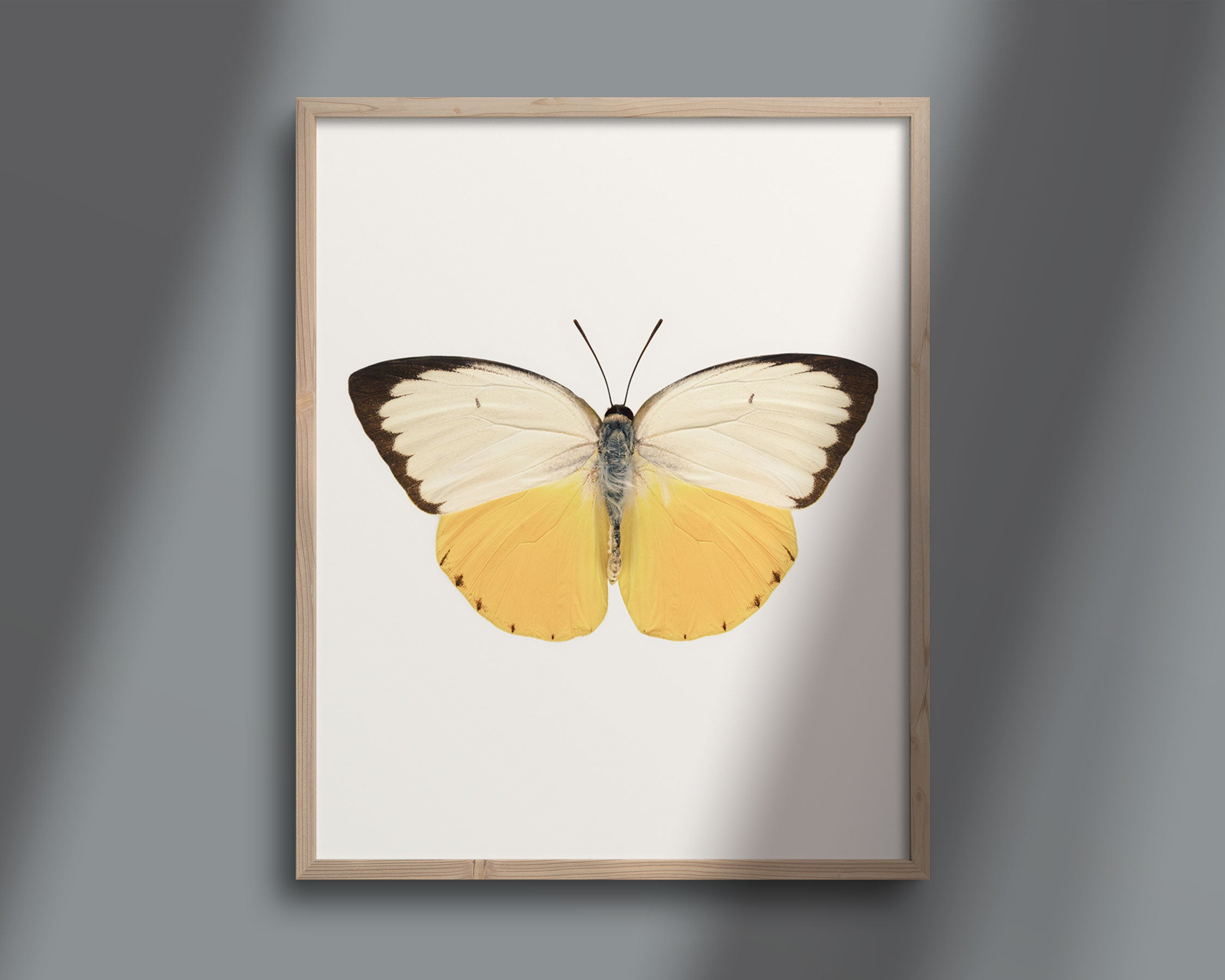 Butterfly Photo No. 7 - Catopsilia scylla - Orange Migrant Butterfly Print