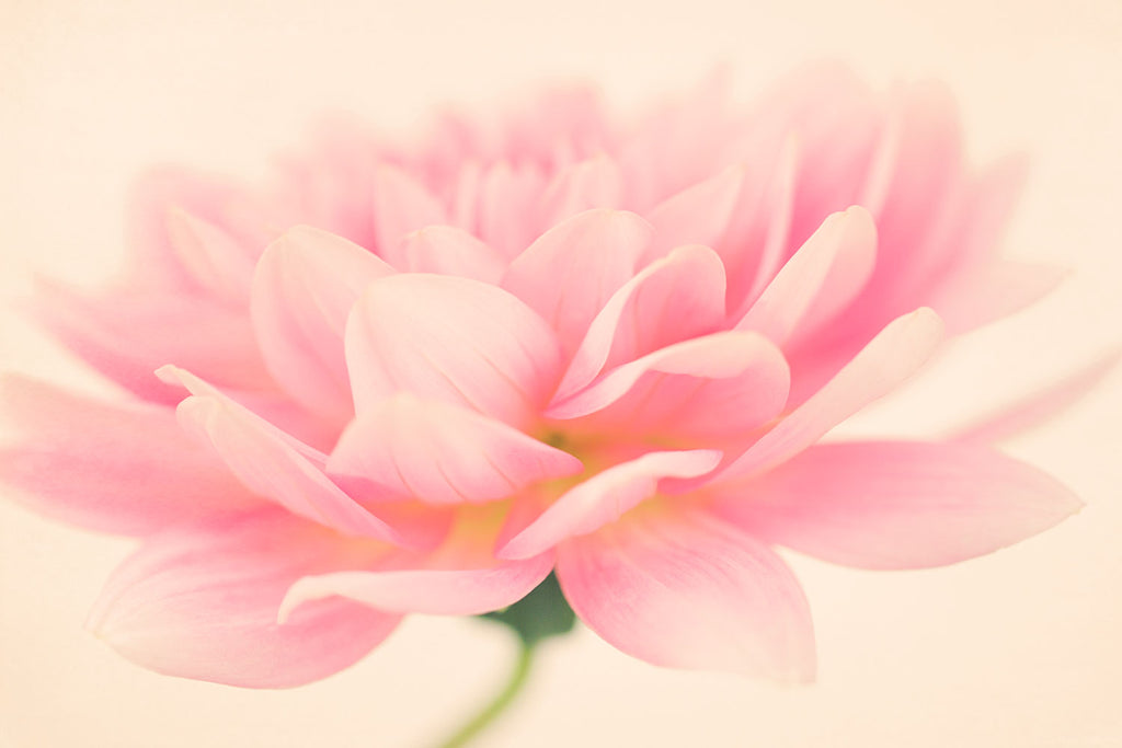 Light Pink Dahlia Flower Fine Art Photograph