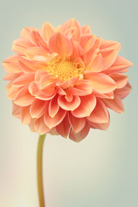Fine Art Flower Photography Print of an Orange Dahlia