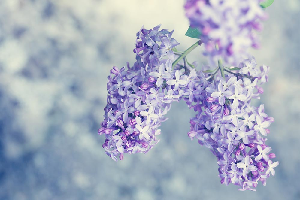 lilac flowers garden photo