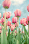 "Fine Art Flower Photography Print ""Tulips No. 12"""