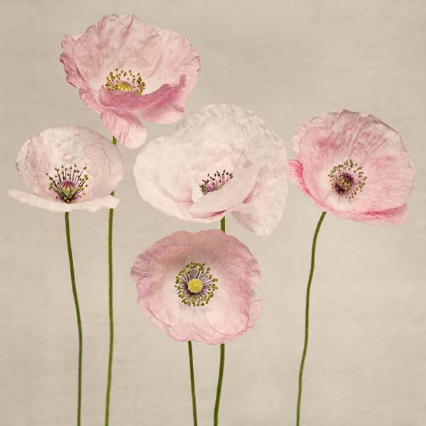 Fine art photography print of a group of shirley poppy flowers