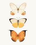 Orange and Yellow Butterflies Fine Art Print