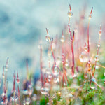 Nature Photography Print of Droplets on Moss