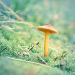 Little Orange Mushroom Nature Photograph