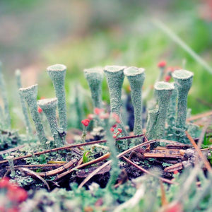 woodland lichen photography print