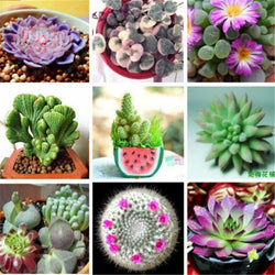 German Imports Of Potted Flowers Succulents  300pcs/lot bonsai - Spero Store
