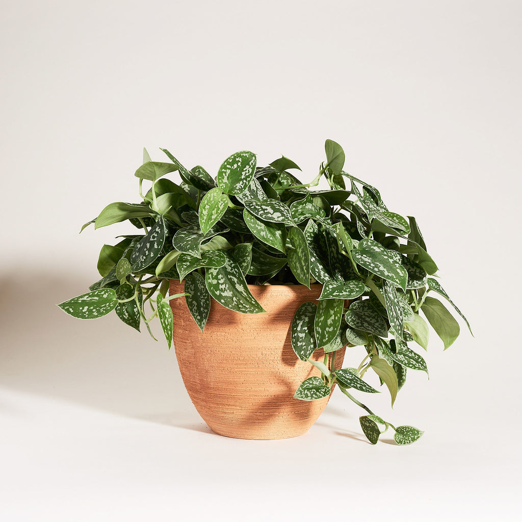 Silver Satin Pothos in Grooved Natural Clay Pot - Field Guide