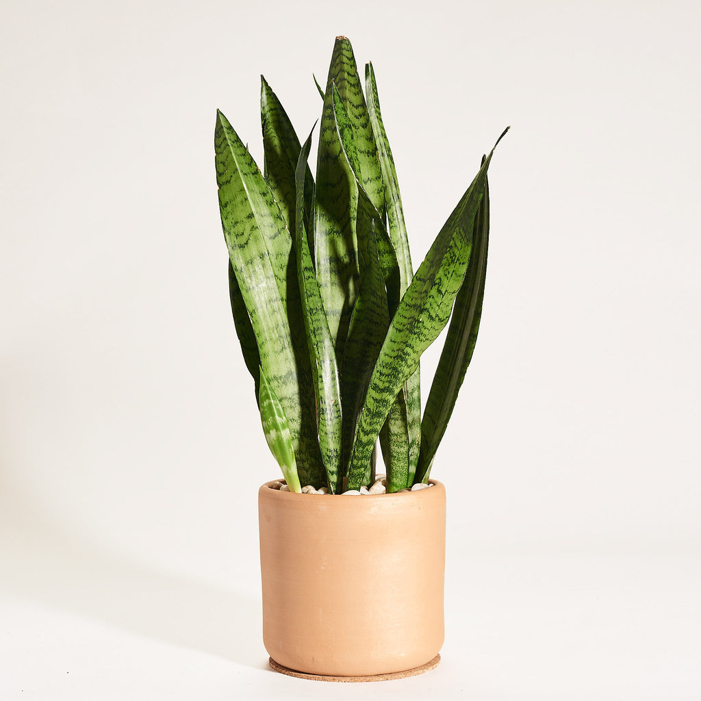 Sansevieria in Natural Clay Cylindrical Planter - Field Guide