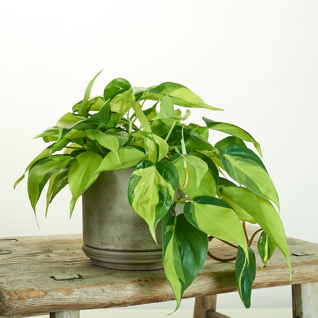 Philodendron Brazil in Modern Clay Planter - Field Guide