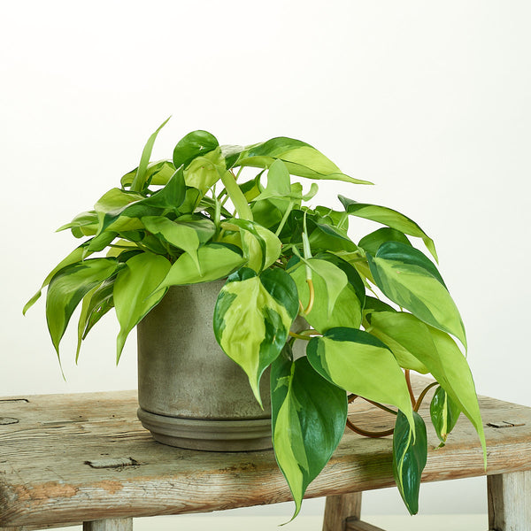 Philodendron Brasil in Modern Clay Planter - Field Guide